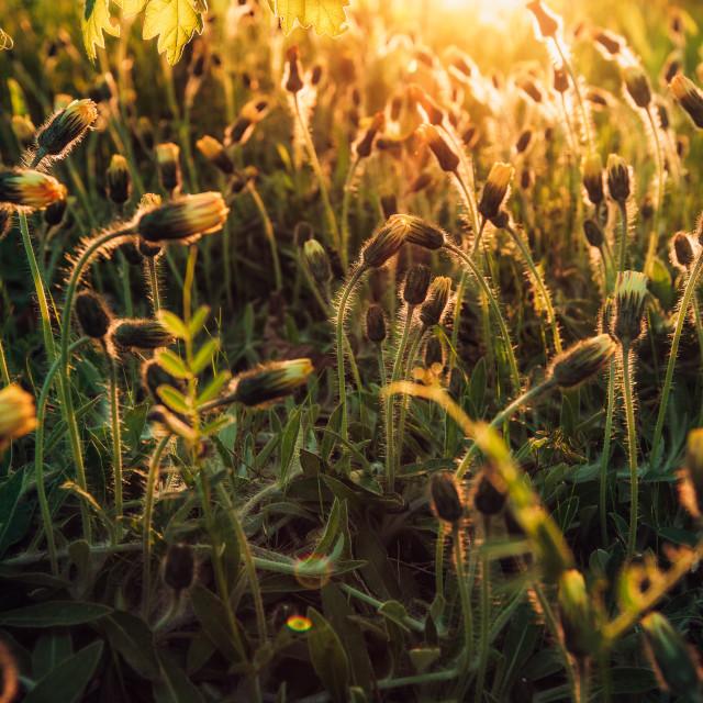 """Maco shot of yellow dandelions shining at sunset"" stock image"