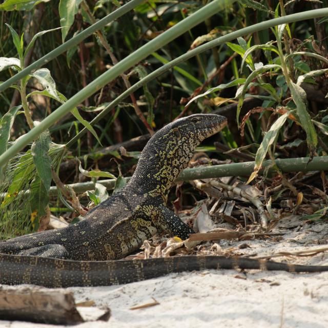 """Nile Monitor (Varanus niloticus)"" stock image"