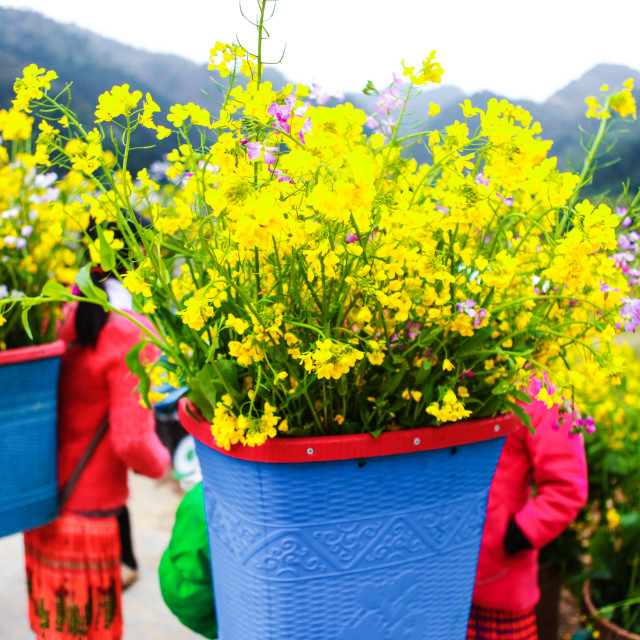 """""""DONG VAN, HA GIANG, VIETNAM, January 1th, 2018: Unidentified ethnic minority kids with baskets of rapeseed flower in Hagiang, Vietnam. Hagiang is a northernmost province in Vietnam"""" stock image"""