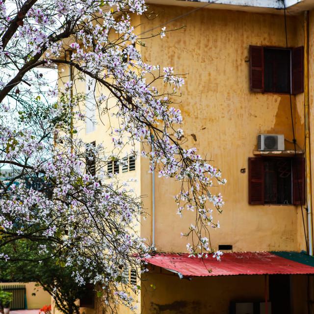 """Beautiful Bauhinia variegata flowers in blooming season at Dien"" stock image"