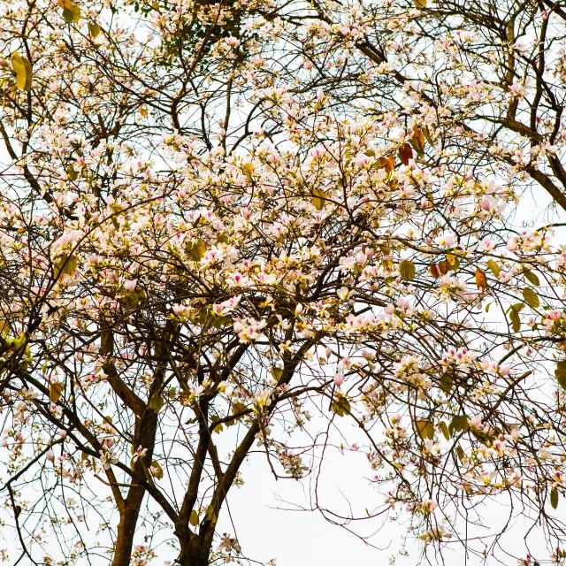 """Beautiful Bauhinia variegata flowers in blooming season at Dien Bien, Vietnam"" stock image"