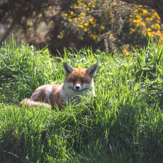"""A Resting Red Fox"" stock image"