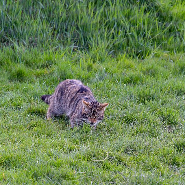 """Scottish Wildcat (Felis Silvestris Grampia) at the British Wildl"" stock image"