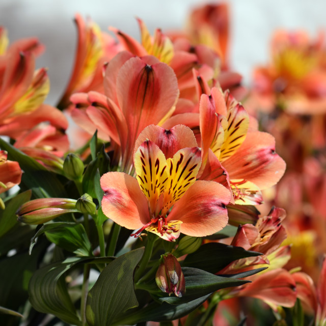 """alstroemeria peruvian lily flowers"" stock image"
