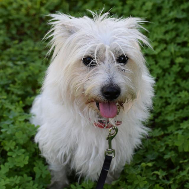 """small white dog"" stock image"