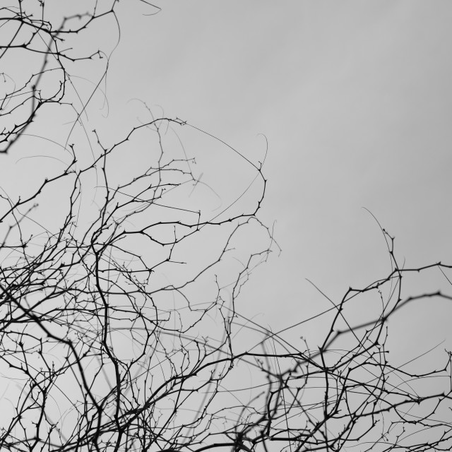 """tree branches thorns"" stock image"