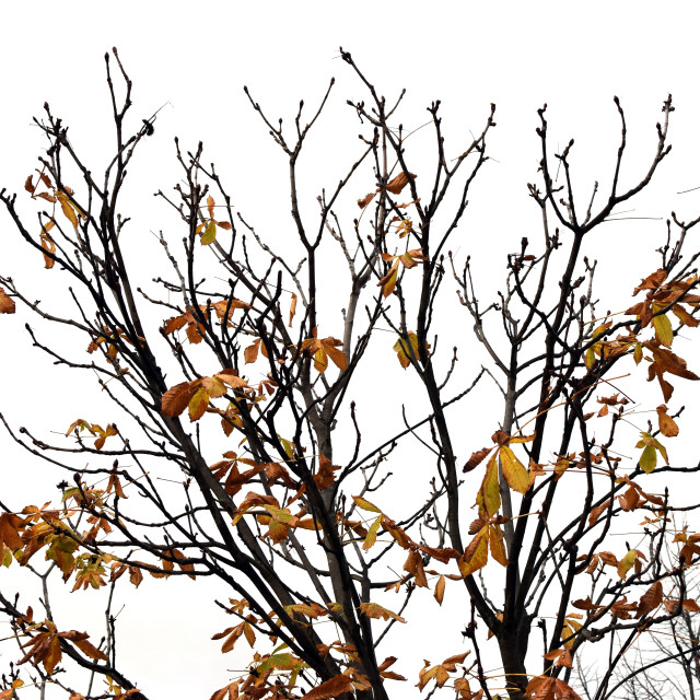 """tree branches with brown leaves"" stock image"