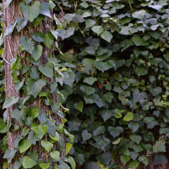 """tree trunk green ivy climbing vine"" stock image"