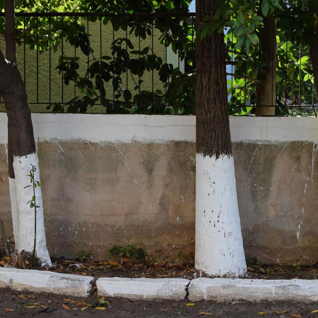 """""""whitewashed tree trunks"""" stock image"""