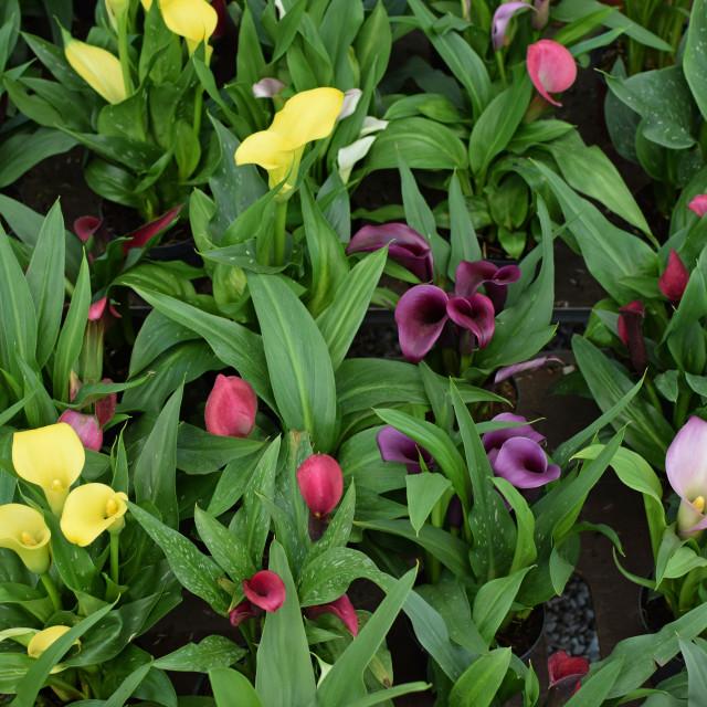 """zantedeschia calla lily flowers"" stock image"