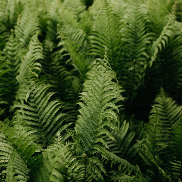 """Cluster of Ferns in a Garden"" stock image"