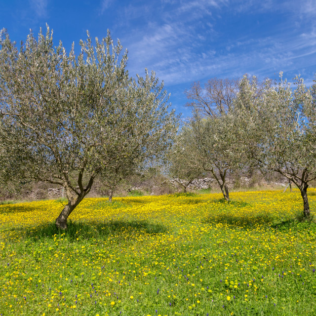 """Olive tree field"" stock image"