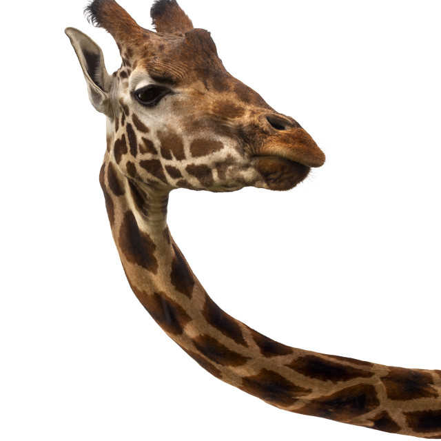 """Giraffe on white background"" stock image"