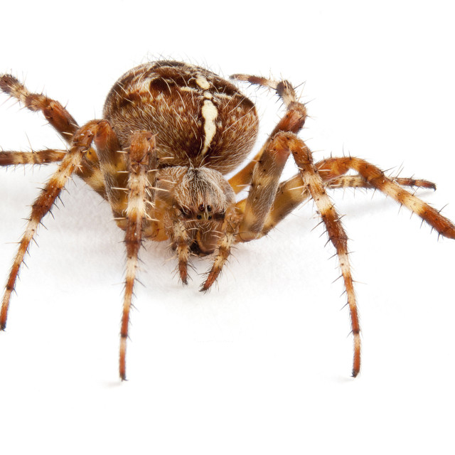 """Araneous diadenatus common garden spider"" stock image"