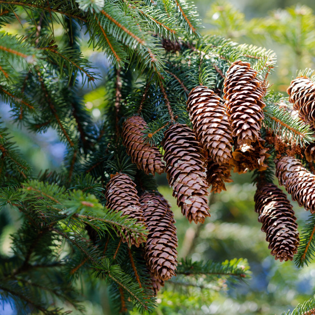 """Longitudinal cones of caucasian fir tree, Abies, hang from branc"" stock image"