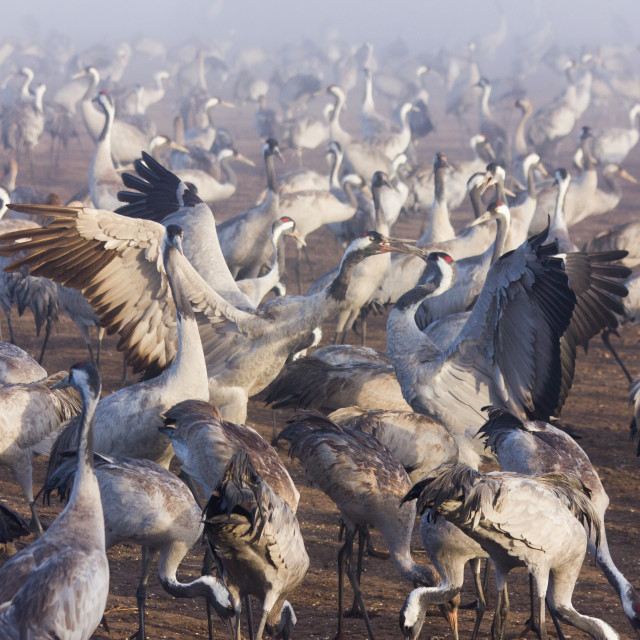 """""""Cranes in Hula Valley during sunrise"""" stock image"""