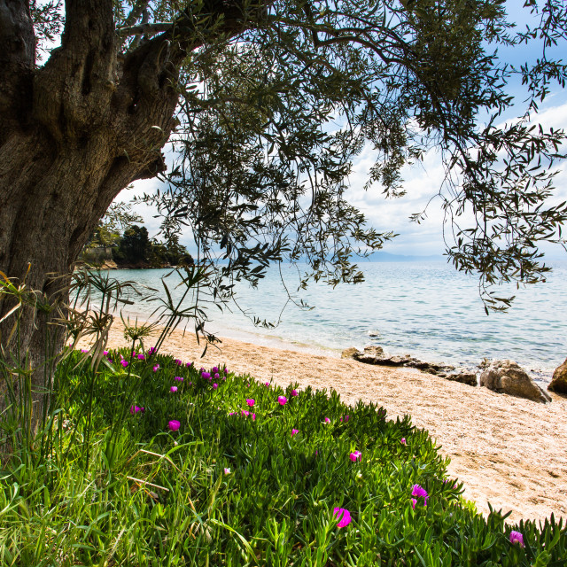 """Olive tree by the sea"" stock image"