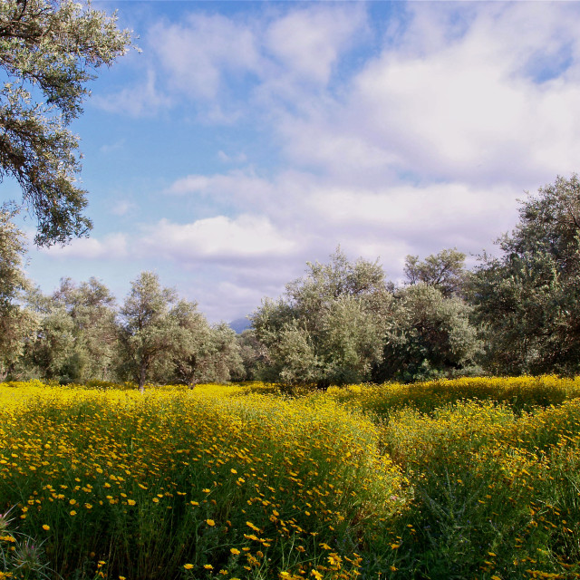 """""""The Old Olive Grove at Ozankoy"""" stock image"""