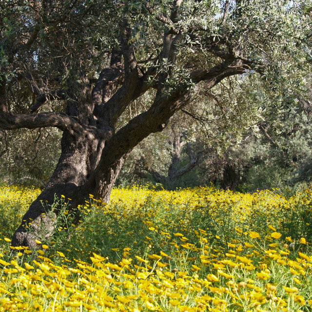 """""""The Old Olive Grove"""" stock image"""
