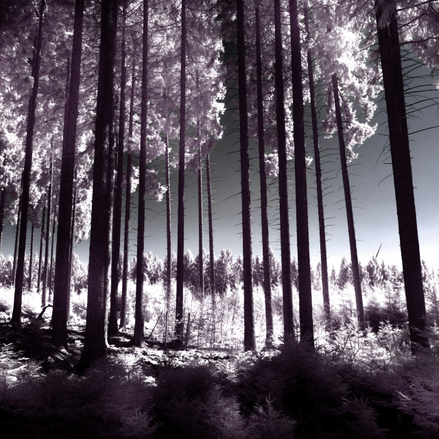 """Infeared spring forest"" stock image"