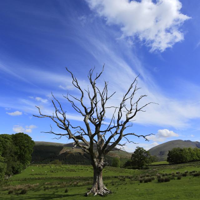 """Dead tree near Keswick town, Cumbria, Lake District National Park, England, Uk"" stock image"