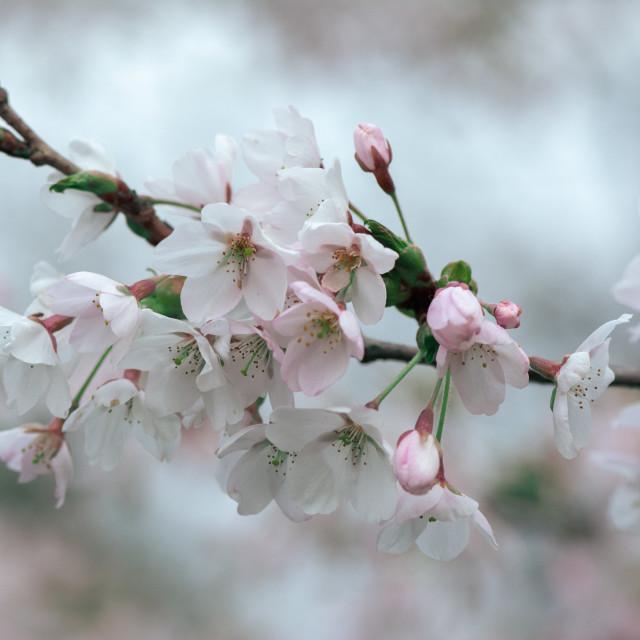 """Sakura"" stock image"