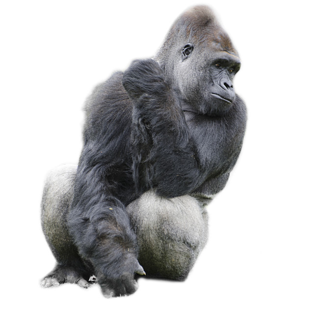 """cut out image of a gorilla"" stock image"