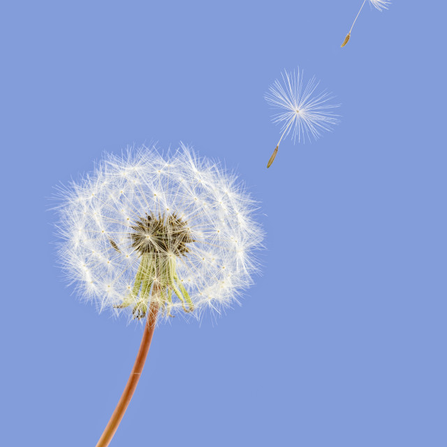 """Dandelion seeds blowing away from plant against a blue background"" stock image"