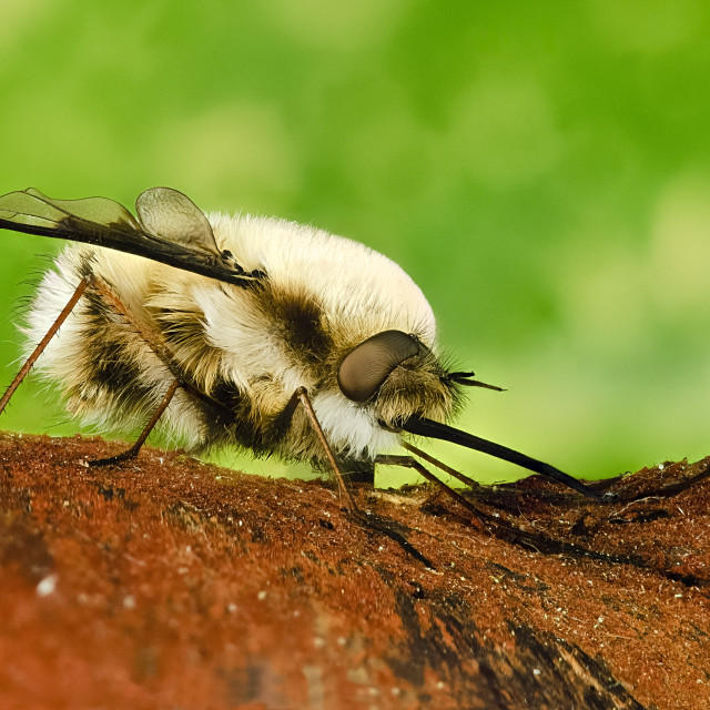 """focus stacked image of a large bee fly Bombylius major all of insect is in focus"" stock image"