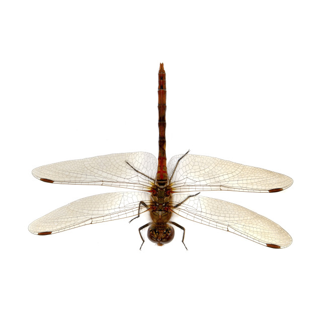 """Common Darter from above"" stock image"
