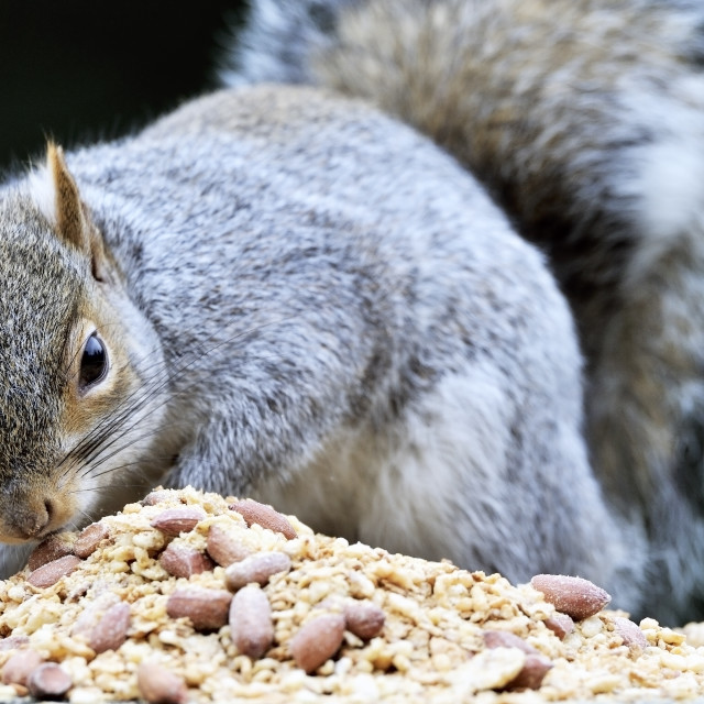 """grey gray squirrel Sciurus carolinensis feeding"" stock image"