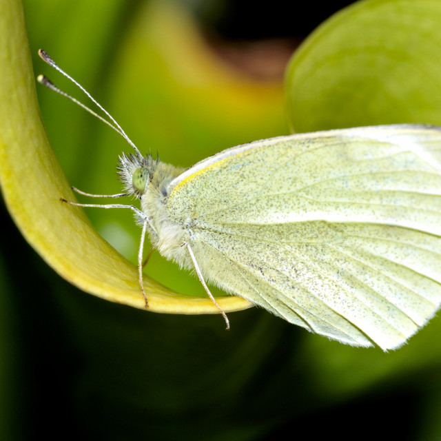 """Pieris rapae common name small white one of the butterflies known as the cabbage white."" stock image"