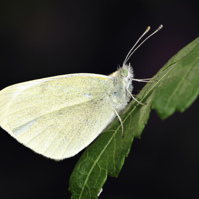 """Pieris rapae common name small white one of the butterflies known as the cabbage white"" stock image"