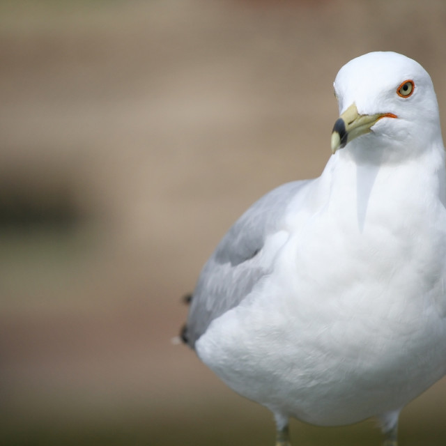 """portrait of a Ring-Billed seagull bird"" stock image"