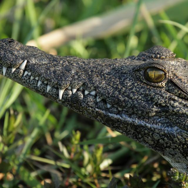 """Crocodile (Crocodylus niloticus)"" stock image"