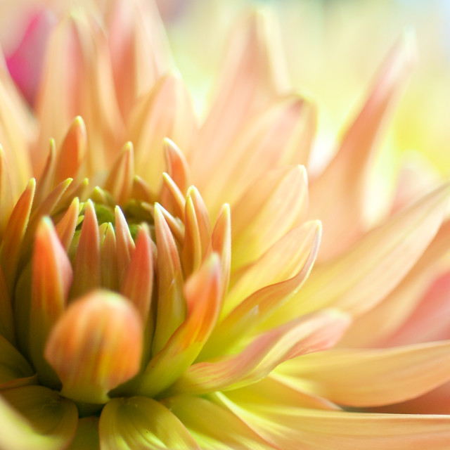 """Red, pink and yellow Dahlia"" stock image"