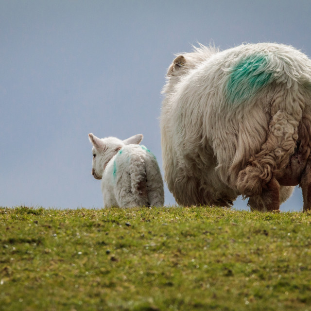 """""""Ewe and Lamb walking over a hill in sunlight"""" stock image"""
