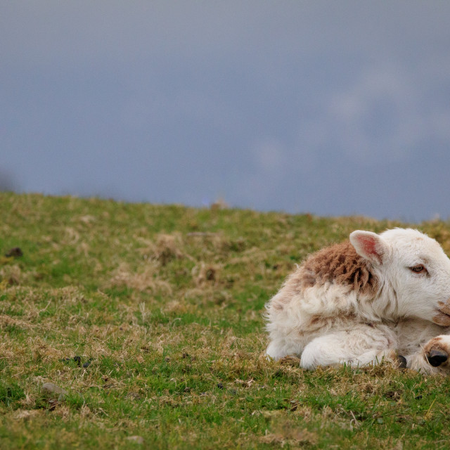 """""""A lone lamb on a hillside"""" stock image"""