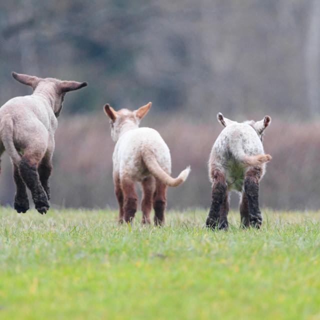 """""""3 lambs running"""" stock image"""