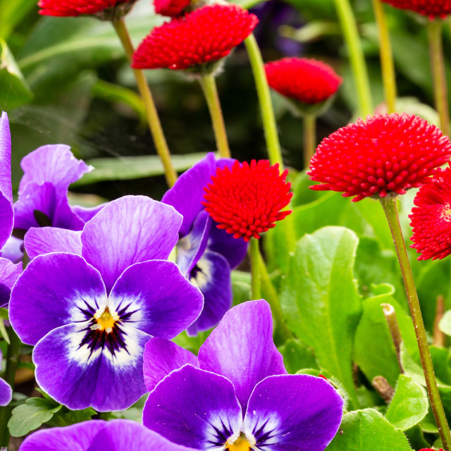 """""""Red and violet garden flowers"""" stock image"""