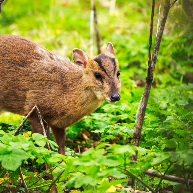 """Muntjac Doe"" stock image"