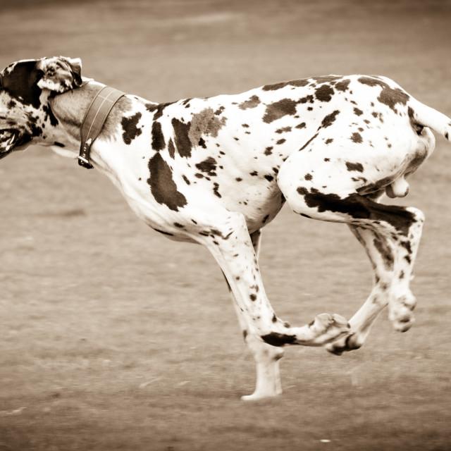 """Great Dane on the Run"" stock image"