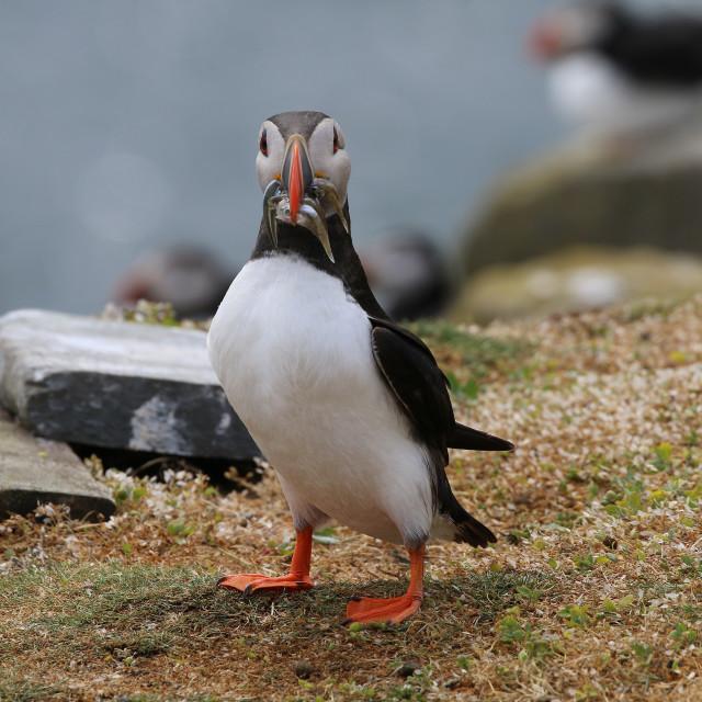 """Atlantic Puffin in the Farne Islands"" stock image"