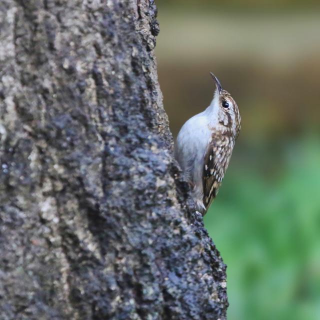 """Treecreeper looking for food"" stock image"