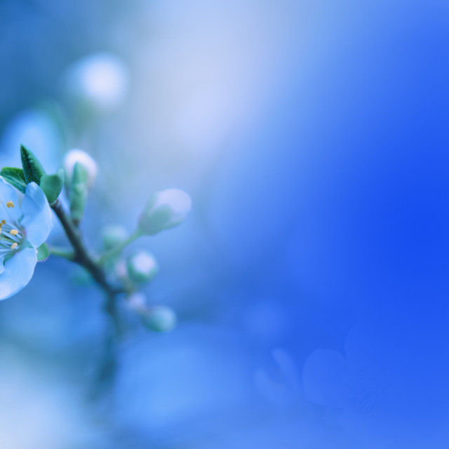 """Spring nature blossom web banner or header.Abstract macro photo.Artistic Blue Background.Fantasy design.Colorful Wallpaper."" stock image"