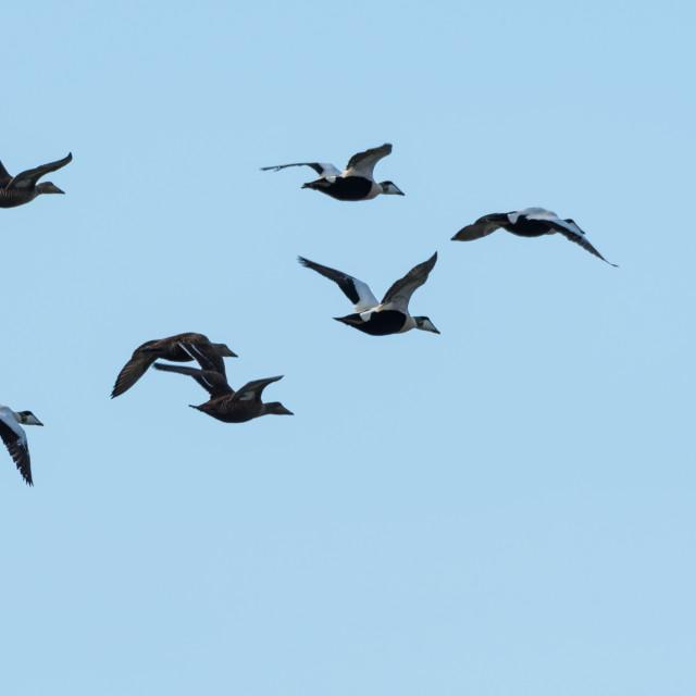 """Migrating flock with Eider ducks"" stock image"