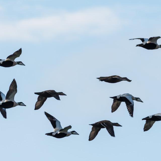 """Flying Eiders om migration"" stock image"