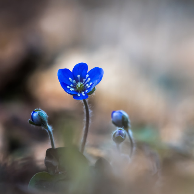 """Beautiful Blue Anemone flower and buds"" stock image"