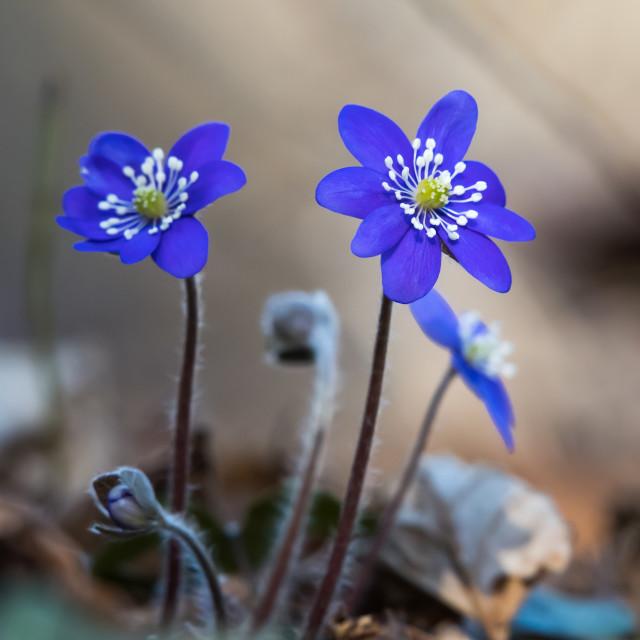 """Blue Anemone flowers"" stock image"