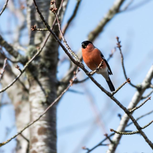 """""""Male Bullfinch feeding in a tree"""" stock image"""